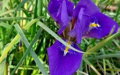 Iris d'Alger : du bleu en hiver